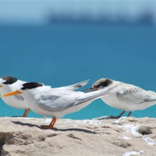 Three fairy terns standing on a rock by the ocean